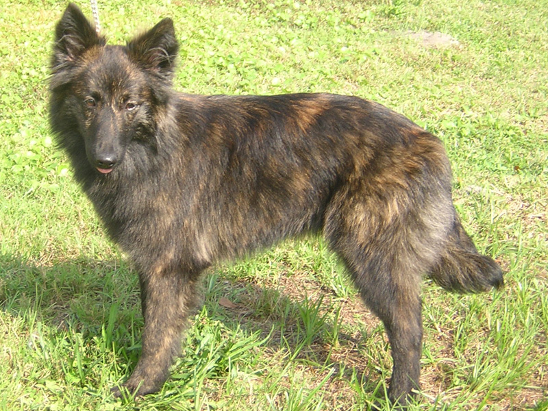 What Dogs Have Brindle   Dog Breeds Picture